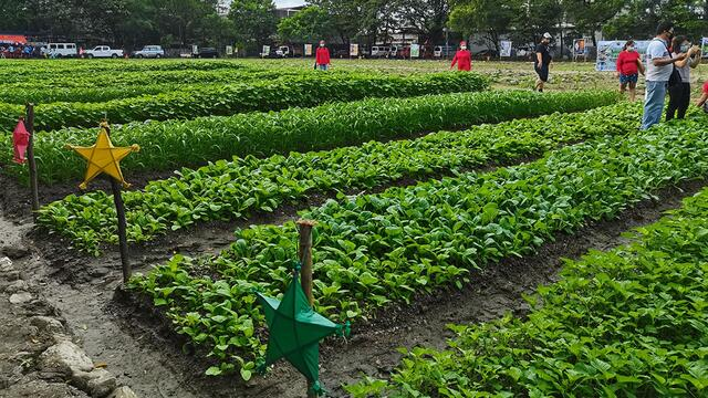 Tondo football field turned into vegetable farm